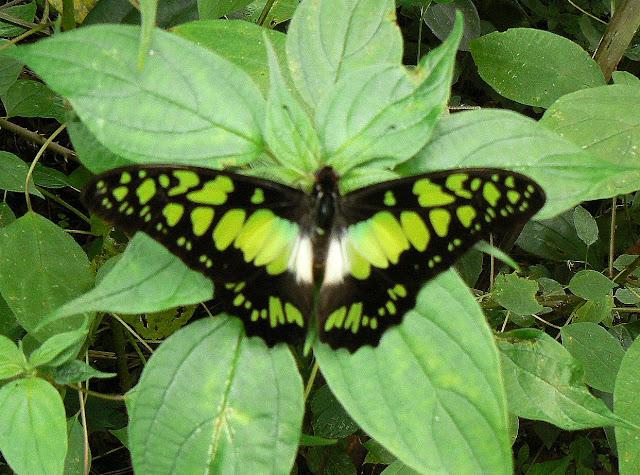 Graphium tynderaeus (FABRICIUS, 1793). Ebogo (Cameroun), 27 avril 2013. Photo : C. Renoton