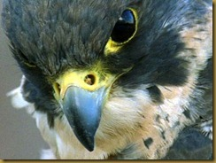birds_-_peregrine_falcon_closeup