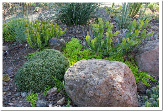121013_RBG_Euphorbia-pseudocactus-Zig-Zag_03