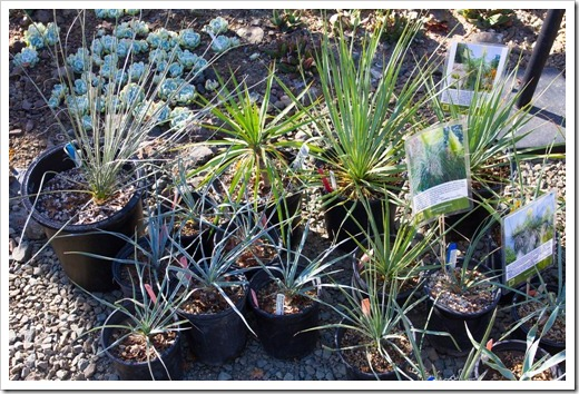 121013_RBG_fall_sale_yuccas