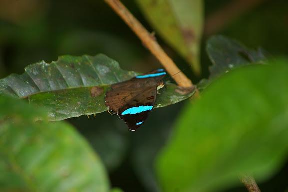 Nessaea batesii C. & R. FELDER, 1860, femelle. Près de Camp Patawa (second layon), Montagne de Kaw (Guyane). 16 novembre 2011. Photo : J.-M. Gayman