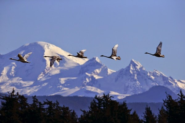 ST Trumpeter swans Mt Baker