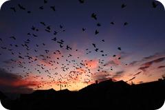 पक्षियों का कलरव