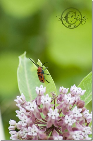 cr-milkweed beetle-2