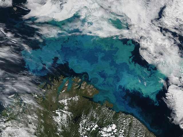 Massive coccolithophore bloom in the Barents Sea, 24 August 2012. These blooms are caused by high levels of sunlight in the arctic summer, and the right combination of nutrients to allow growth. By Jeff Schmaltz / NASA Earth Observatory