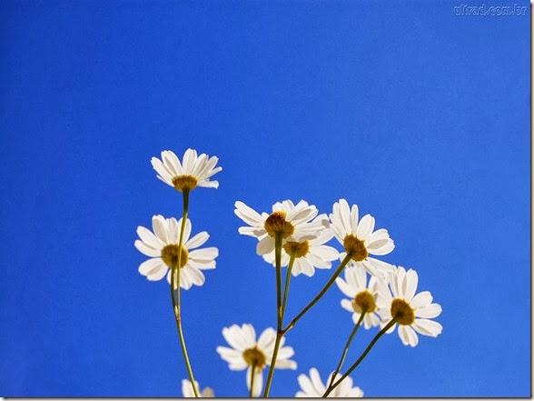 céu azul com margaridas lindas
