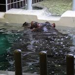 hippo at ueno zoo in Ueno, Tokyo, Japan