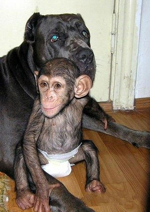 Chimpanzee Adopted By a Mastiff 06