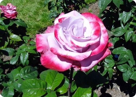 pink/red rose