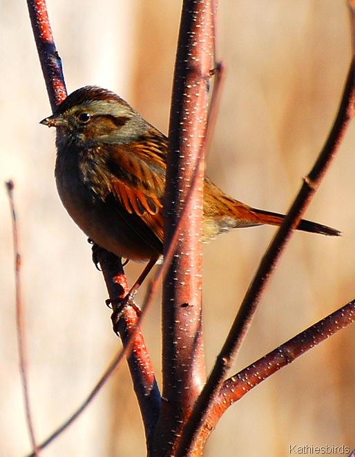 1-1-2011 Swamp Sparrow-kab