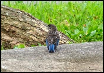 04c - Bluebird Chick 1