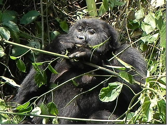 Rwanda_Gorillas (6)