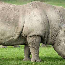 Power by Voicu Lupan - Animals Other Mammals ( safari, power, africa, rhinocerros )