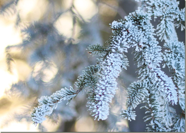122411_evergreen frosty bokeh