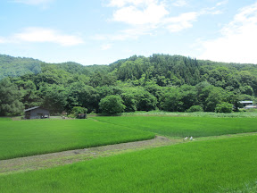Rice fields...