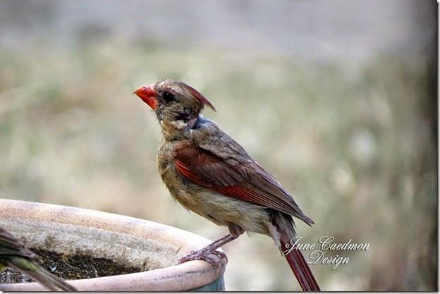 Cardinal_birdbath