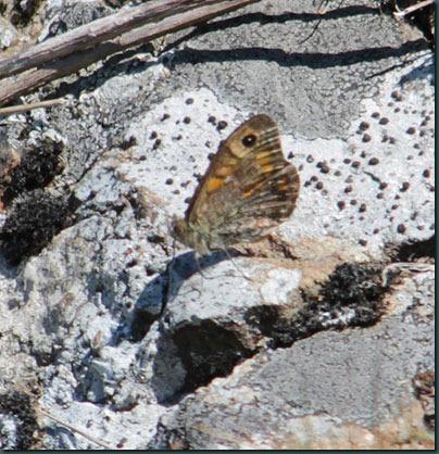 37-wall-butterfly