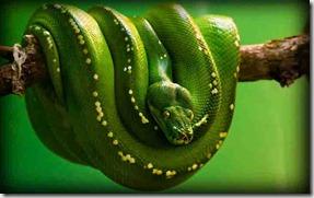 green anaconda | giant snake