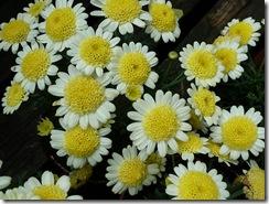 smeaton flowers2