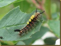 IMG_0021 Caterpillar