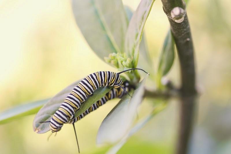 caterpillars-12