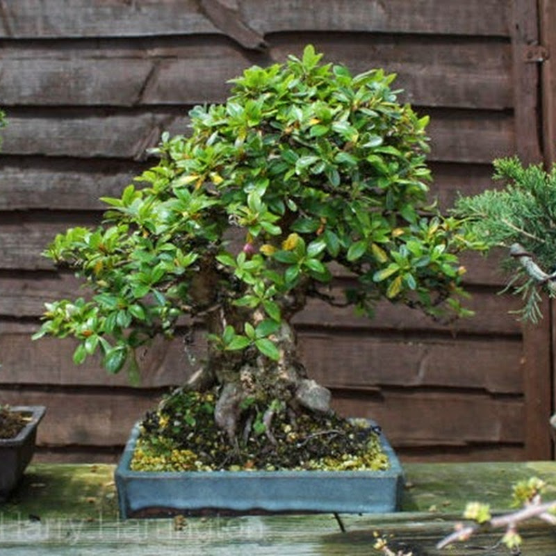 Bonsai Species Guides: Rhododendron species Azalea.