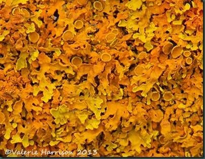 7 Orange-lichen