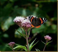 Red Admiral on Valerian