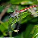 Blue-faced Meadowhawk dragonfly (female with eye injury)