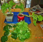 13-14 week summercrisp lettuce, inorganic nutes, post-harvest, harvest includes the other group of splashers 20 20