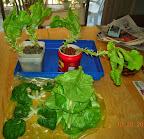 13-14 week summercrisp lettuce, inorganic nutes, post-harvest, harvest includes the other group of splashers 20 20