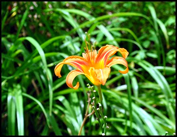 19 - Back at beginning - Daylily is blooming