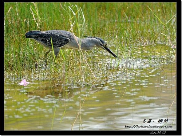 綠簑鷺(2010-01-28蘭卡威)6075