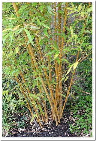 110804_Phyllostachys-viridis-Robert-Young_06