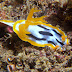 Chromodoris strigata - Photo (c) 104623964081378888743, some rights reserved (CC BY-NC-SA)