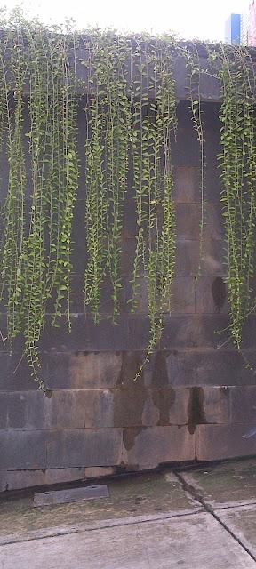 tanaman menjuntai
