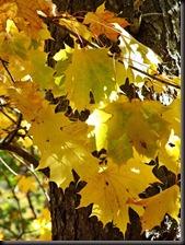 Hojas Arce Real en otoño