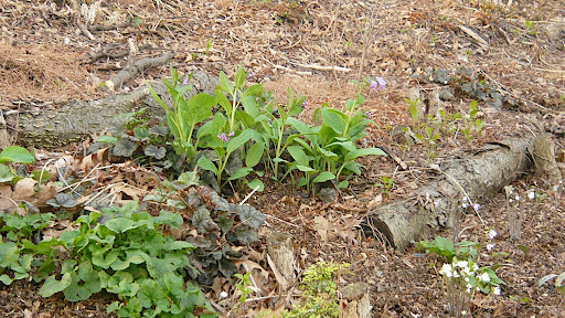 Part of an establishing colony of Virginia blue bell, Mertensia virginica and some of the dainty hepaticas that are intermixed.