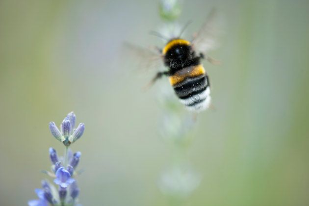 Honey bee in flight. Photo: Odilon Dimier / Getty Images