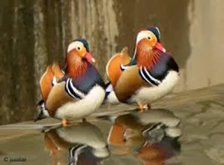 Amazing Pictures of Animals, Photo, Nature, Incredibel, Funny, Zoo, Mandarin Duck, Aix galericulata, Alex (2)