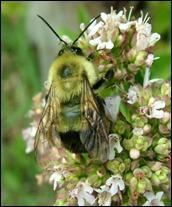 bumble bee-oregano (4)