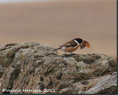 46-stonechat-and-emperor