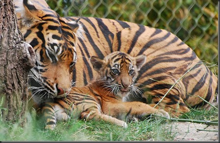 London Zoo Tiger Cub_Credit: bubblews.com