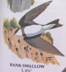 bank swallow picture from bird book