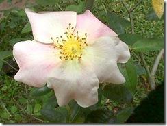 rosa-ca5