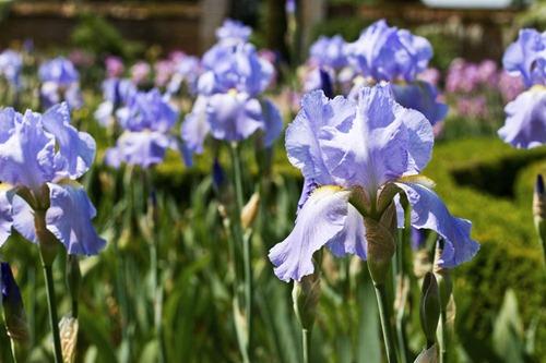 Irises-9