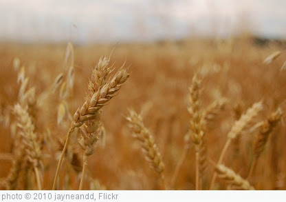 'Wheat' photo (c) 2010, jayneandd - license: https://creativecommons.org/licenses/by/2.0/