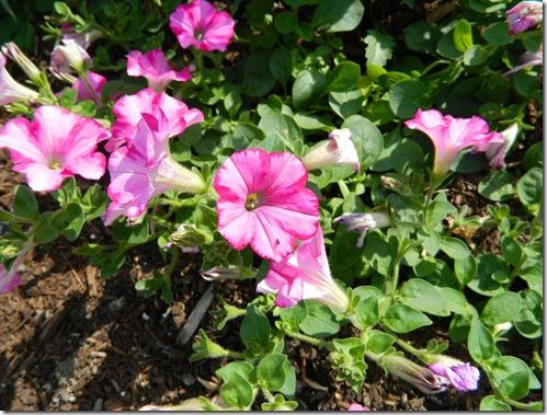 Flowers summer2011 021