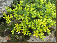 IMG_1226 Yellow Stonecrop