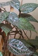 manfaat daun sirih merah